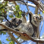 koalas-in-tree-1